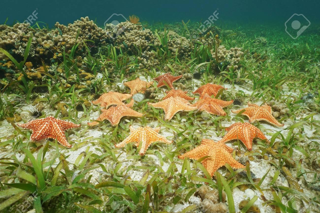 Starfishes Sous Marine étoile De Mer De Coussin Oreaster Reticulatus Sur Le Fond Marin Avec Turtlegrass Et Le Corail La Mer Des Caraïbes