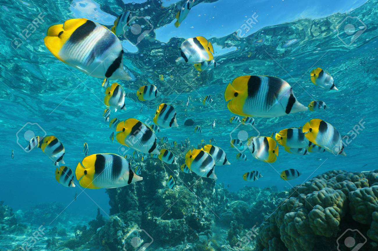 Shoal Of Tropical Fish Underwater Pacific Double Saddle Butterflyfish Chaetodon Ulietensis
