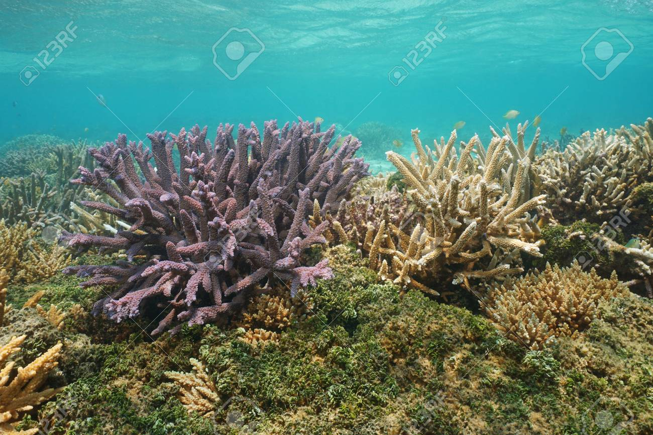 acropora staghorn corals underwater south pacific ocean lagoon