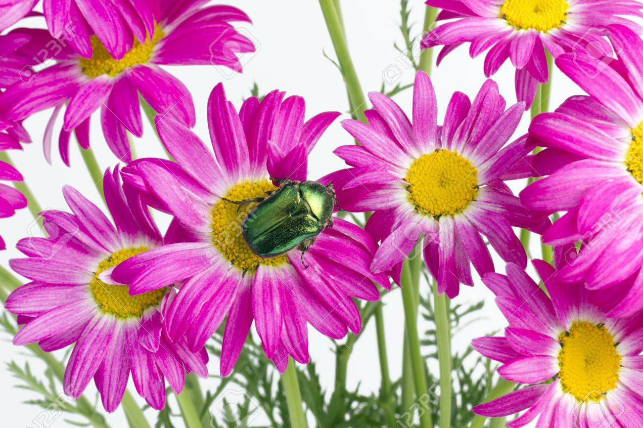 Green emerald real bug sit on the flowers of pink rare daisies green emerald real bug sit on the flowers of pink rare daisies strong selective art mightylinksfo