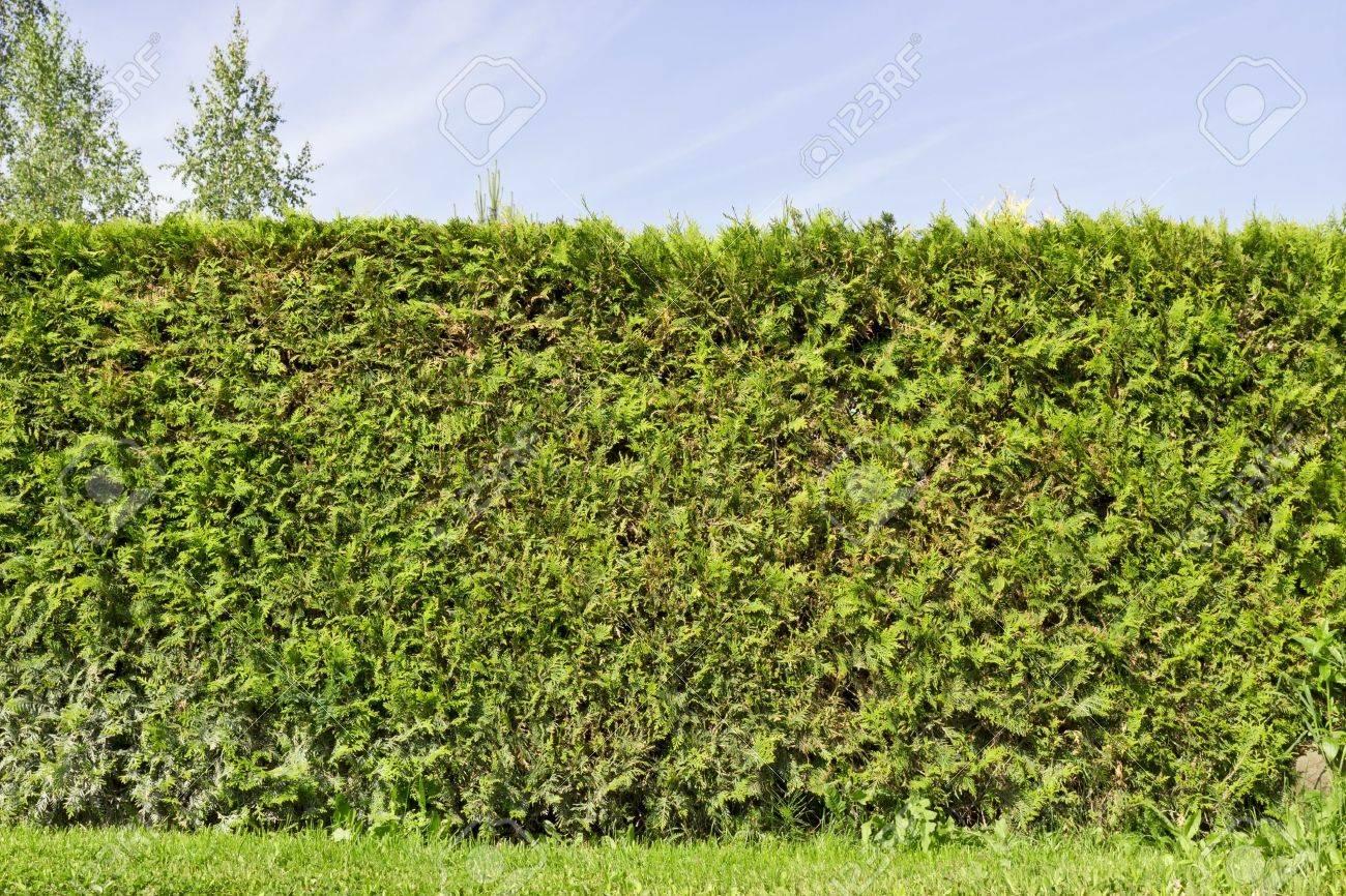 Fragment Eines Landlichen Zaun Hecke Aus Immergrunen Pflanzen Die