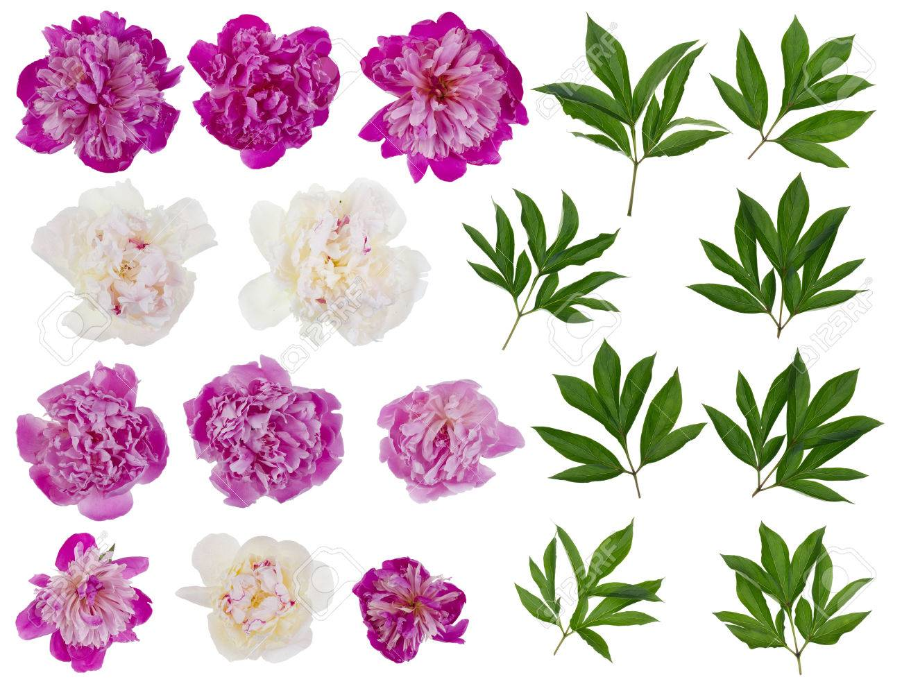 Pink And White Real Peonies Flowers And Leaves Big Set Isolated