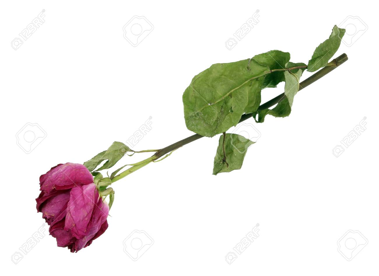 The Drying Up Dead Pink Rose Flower From A Wedding Bouquet Stock