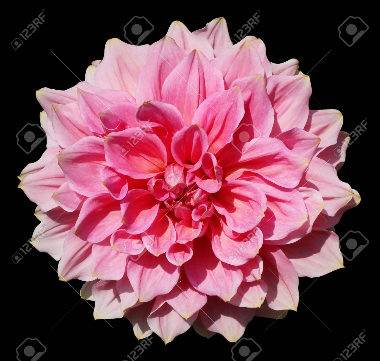 Lush Terry Huge Pink Flower Of Summer Dahlia Closeup Isolated