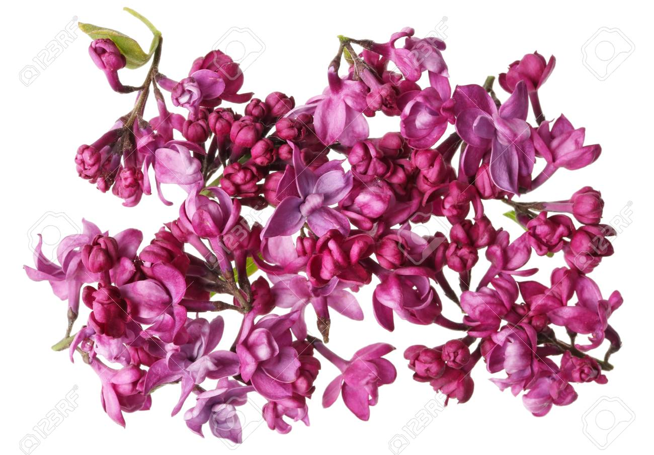 Flowers Of Dark Purple Real Lilacs Without Leaves And Twigs Stock Photo Picture And Royalty Free Image Image 105747328