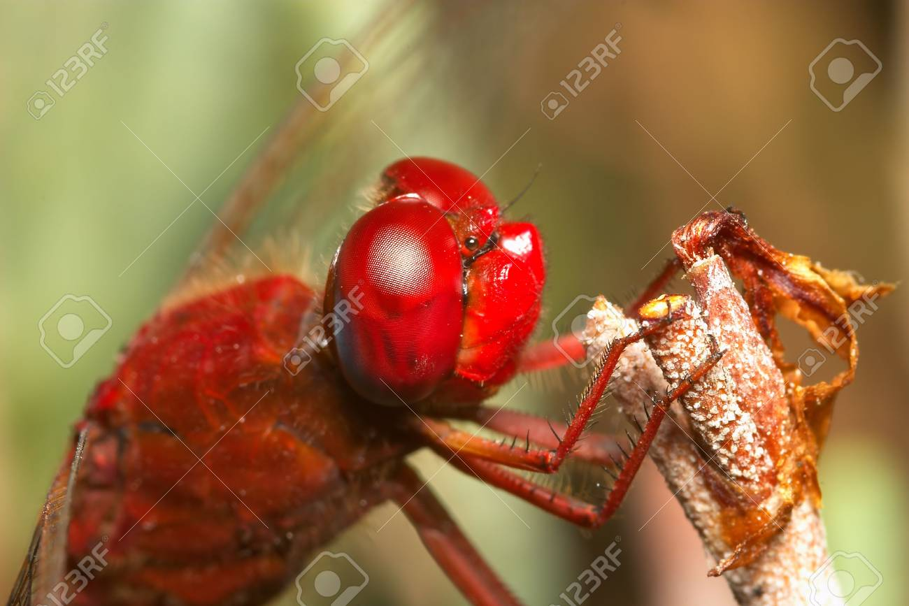 Dragonfly ( sympetrum sp ) Stock Photo - 695748