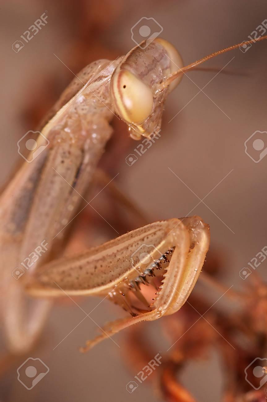 Praying Mantis Mantis Religiosa Stock Photo Picture And
