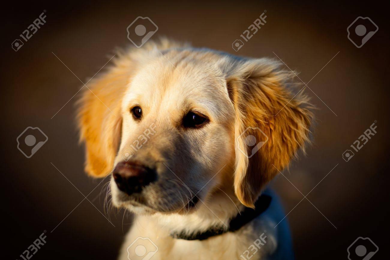 Nice specimen of dog of the race Golden Retriever Stock Photo - 7470202