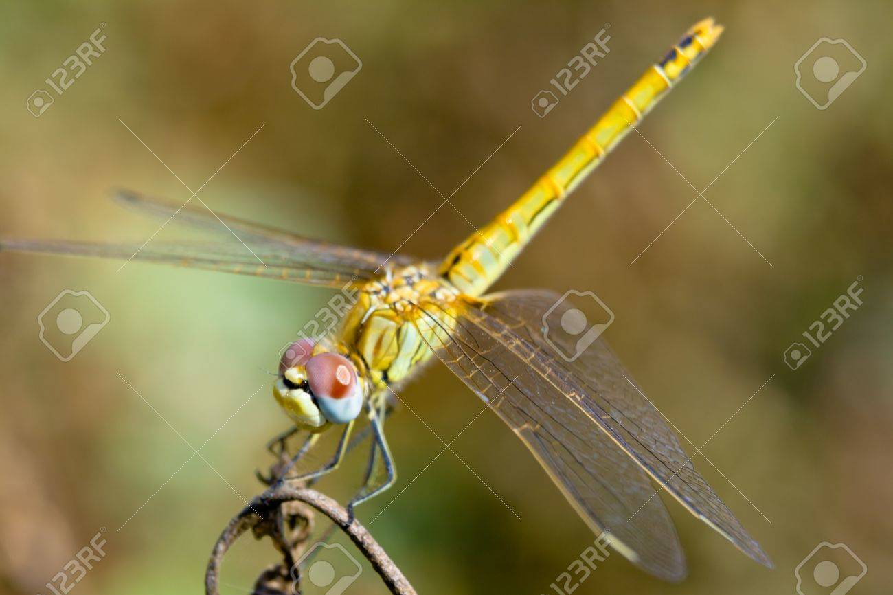 Image of a dragonfly ( sympetrum sp ) accomplished like photo of approximation. Stock Photo - 10128065