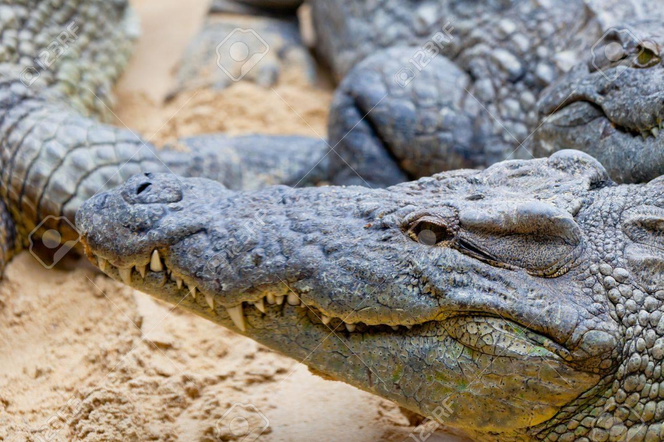 f8808695a906 Detail Of The Head Of A Nile Crocodile