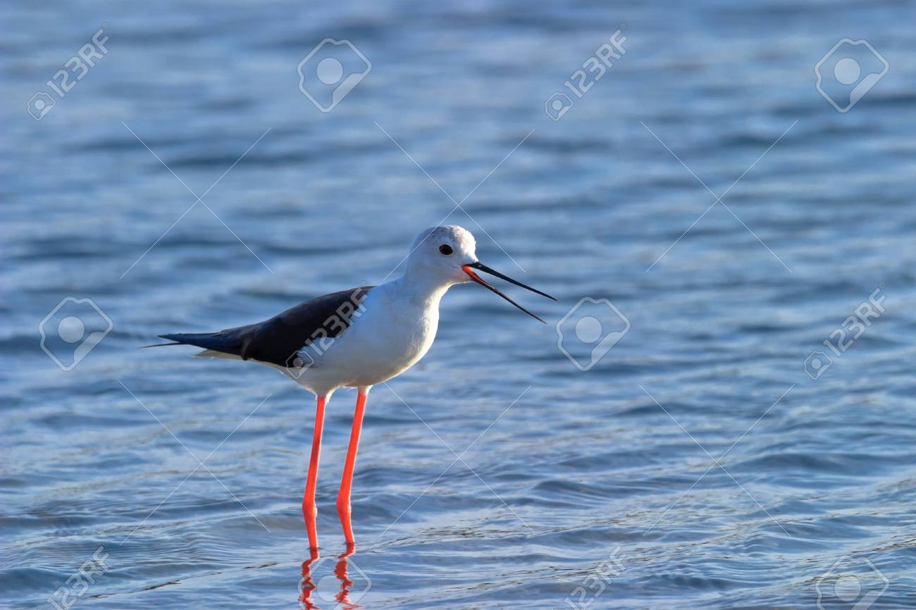 Black-Winged Stilt searching for some to eat Stock Photo - 10786485