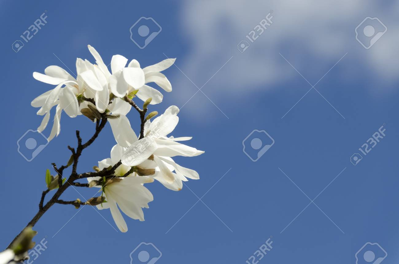 White Magnolia Flowers Reflected On The Blue Background Stock Photo
