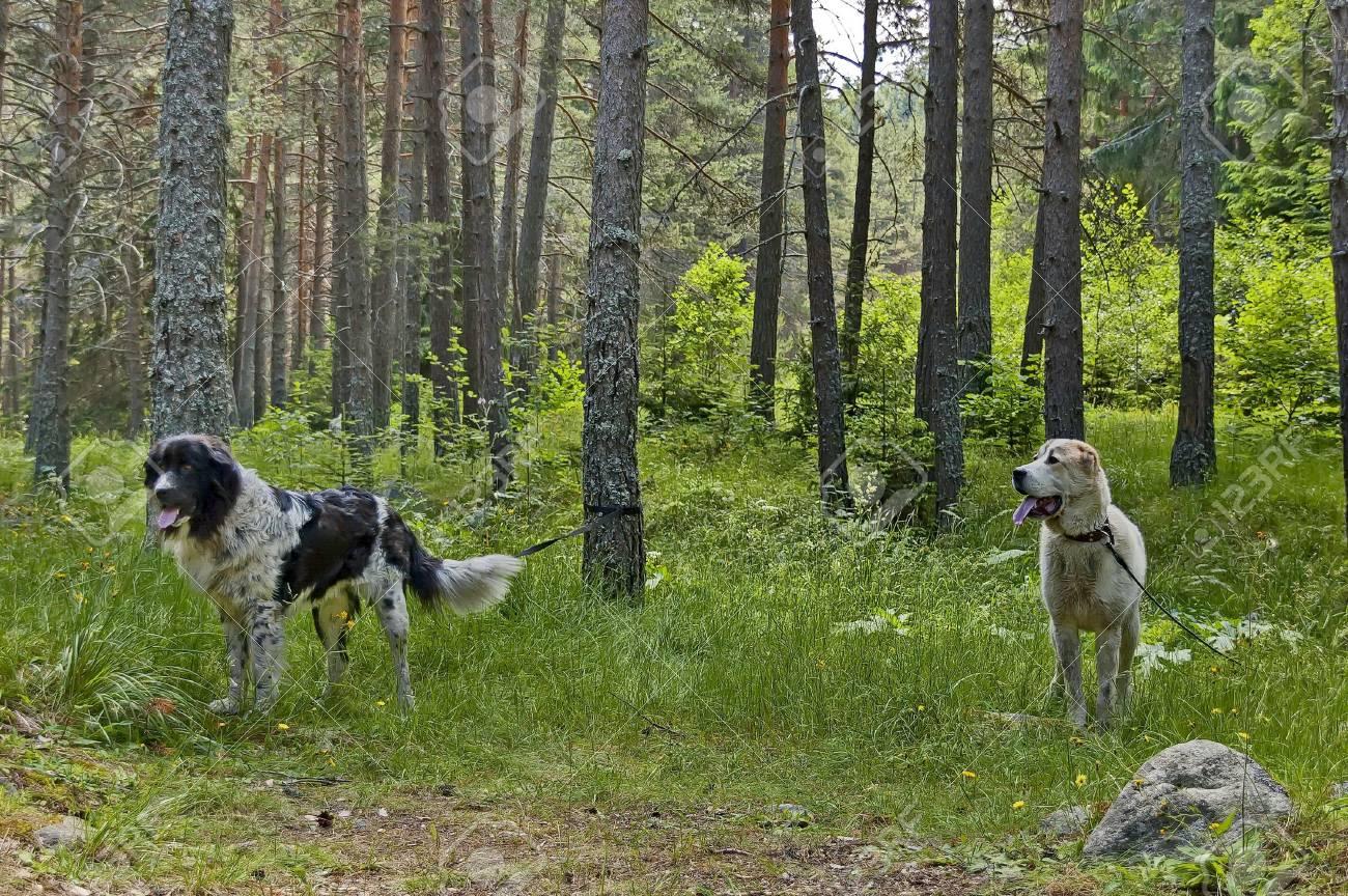 due cani di grossa taglia piacevoli attesa per il cibo foto
