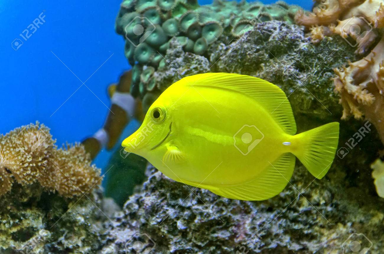 Gold fish and colorful coral reef with many different types of gold fish and colorful coral reef with many different types of corals stock photo 23893507 publicscrutiny Images