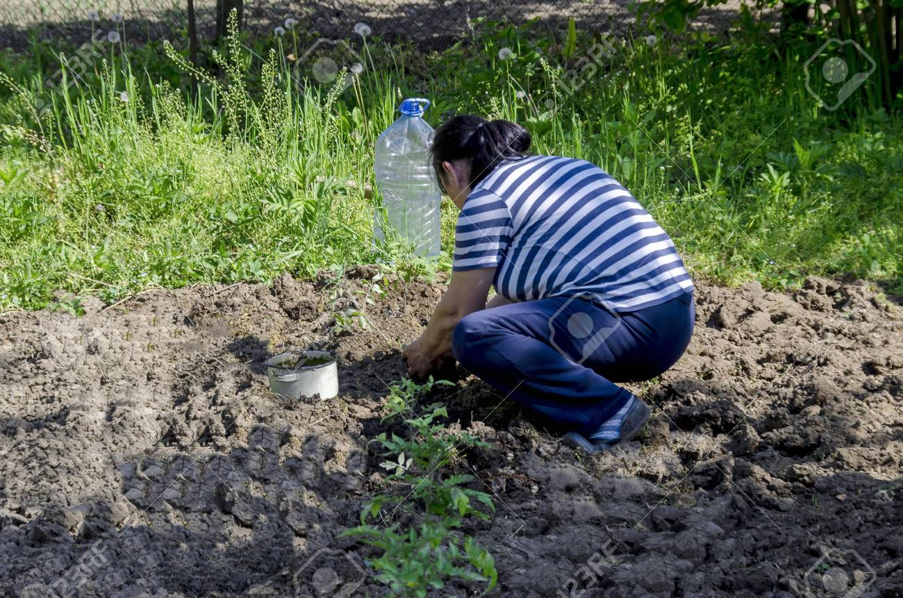 Organic Farming Of Tomato In Green House Hands Holding Seedlings