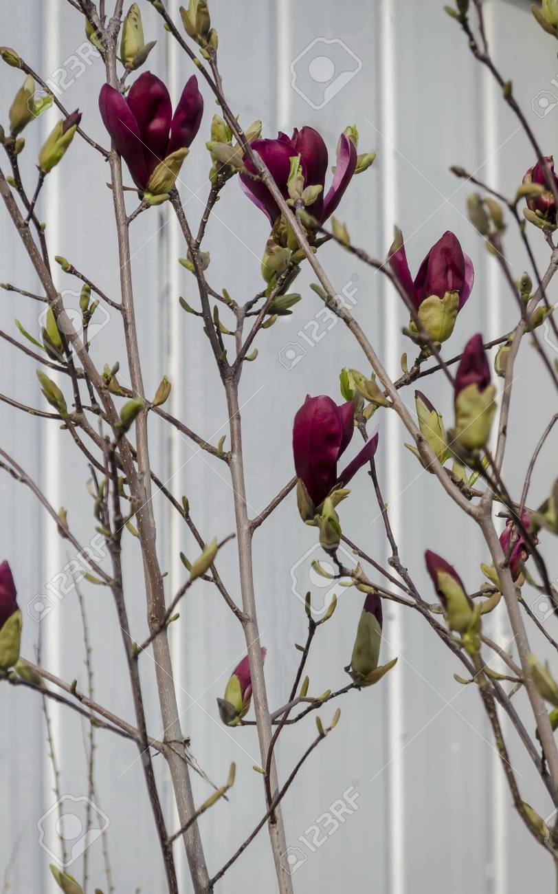 Twig With Red Bloom And Leaves Of Magnolia Tree At Springtime