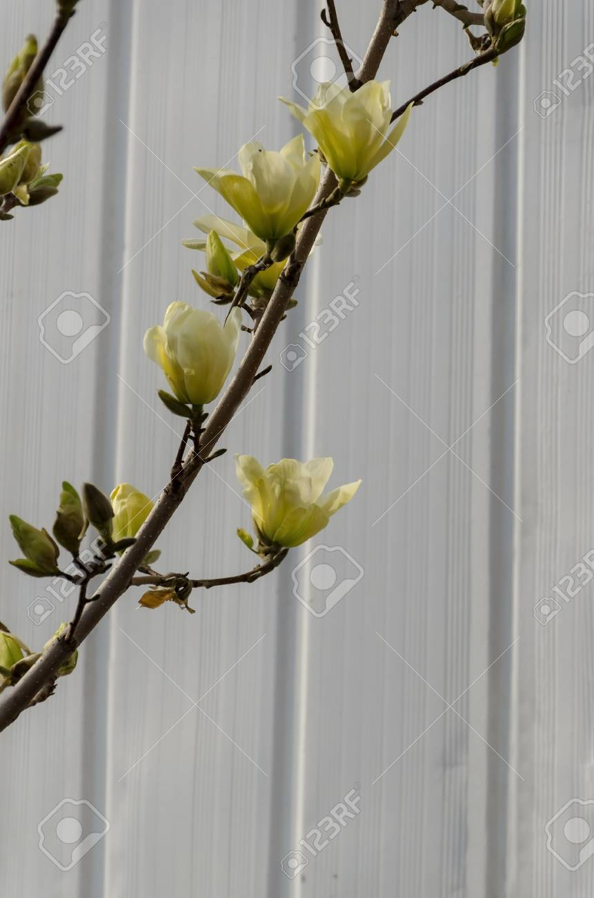 Twig With Yellow Bloom And Leaves Of Magnolia Tree At Springtime