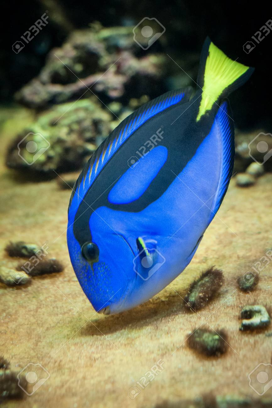 Famous Aquarium Fish Palette Surgeonfish Latin Name Paracanthurus