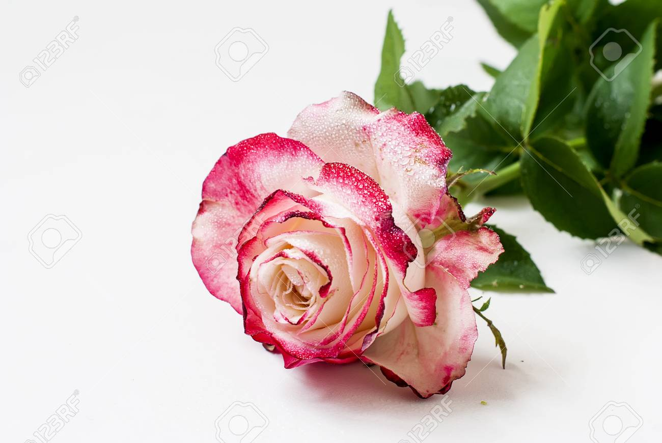 Beautiful Single Rose On White Background For Greeting Cards Of The Birthday Valentines Day