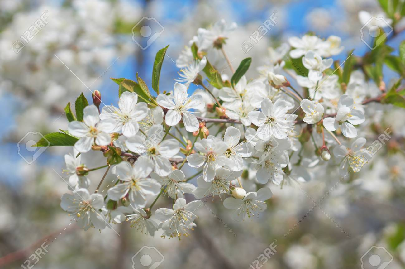 Flowers of the cherry blossoms on a spring day stock photo picture flowers of the cherry blossoms on a spring day stock photo 58505682 mightylinksfo
