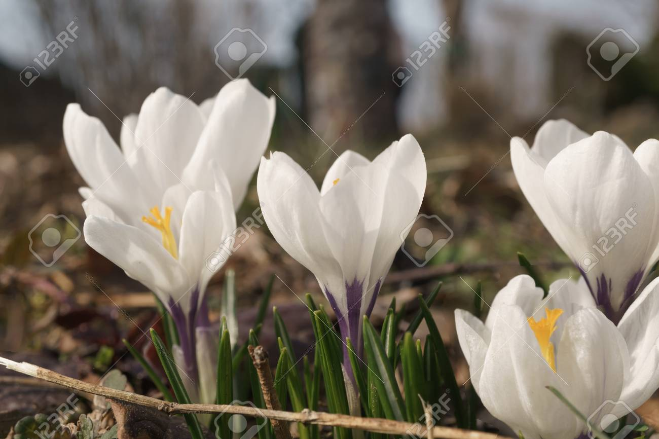 White crocus flower buds in the garden on a light beige background stock photo white crocus flower buds in the garden on a light beige background selective focus several in the group an angle from the height of the mightylinksfo