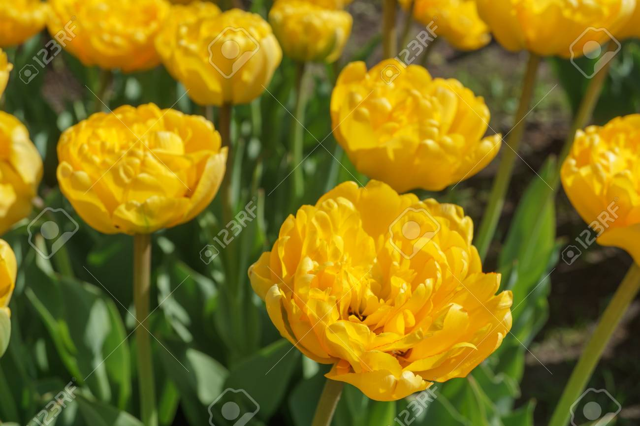 Yellow Tulips In The Garden Flower Variety Yellow Pomponette