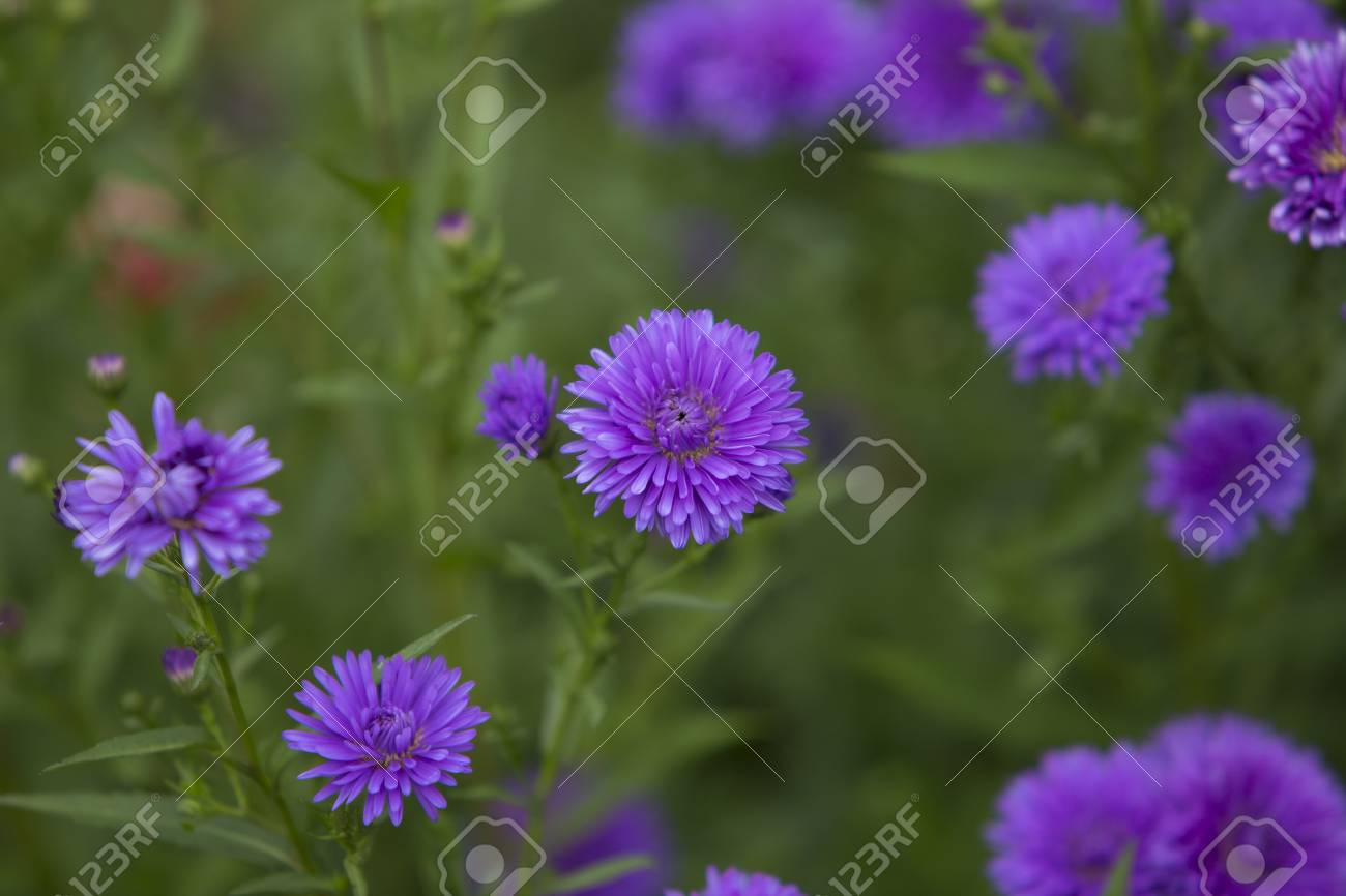 Beautiful purple flowers in a field
