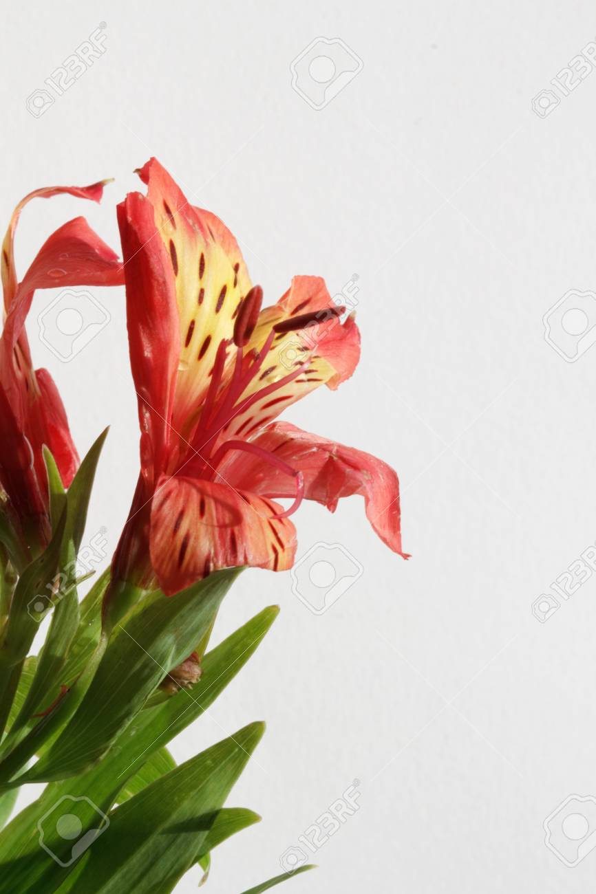 Red Astroemeria flower closeup Stock Photo - 8306017
