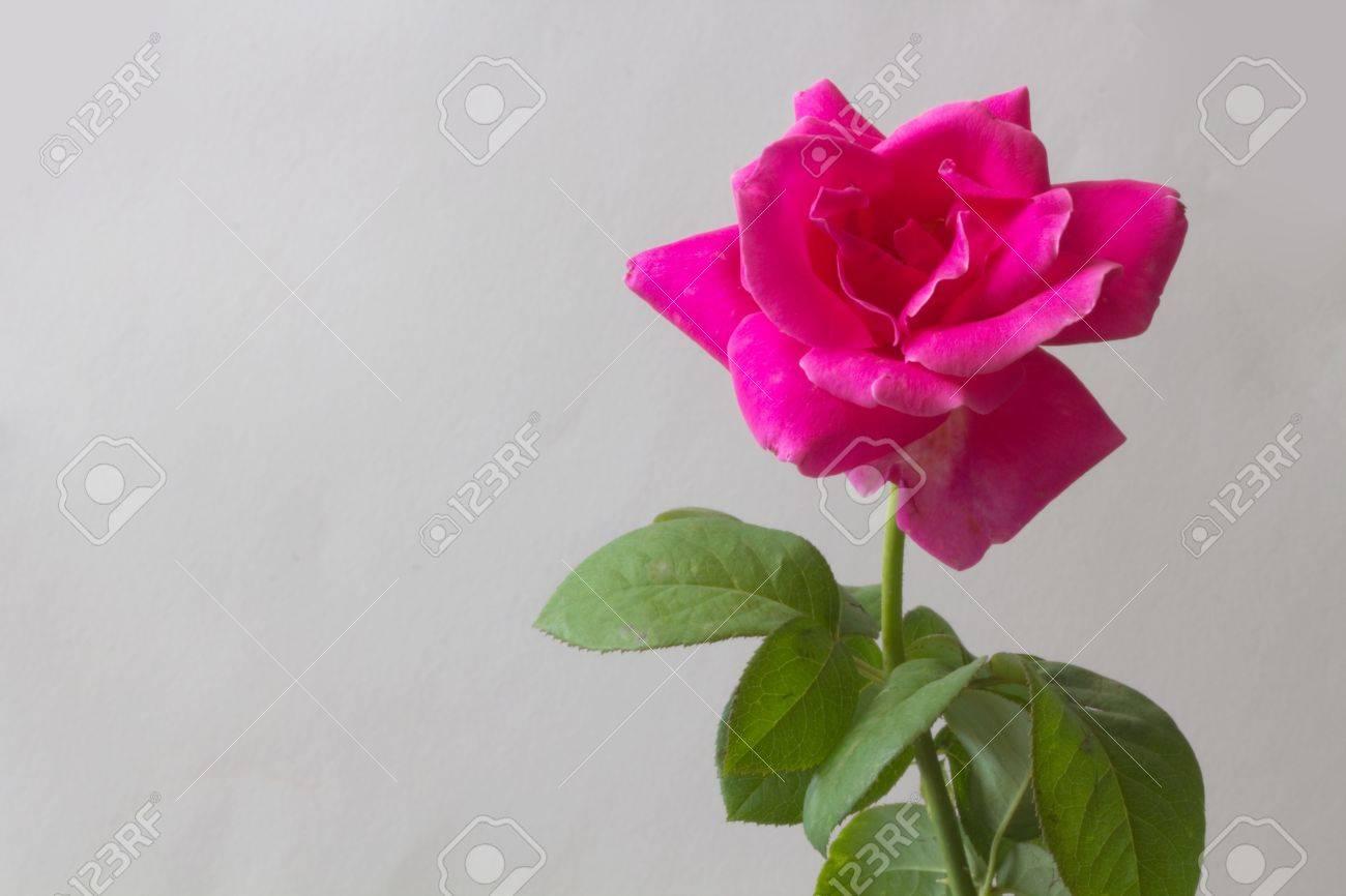 tige rose sauvage avec fleur rose banque d'images et photos libres