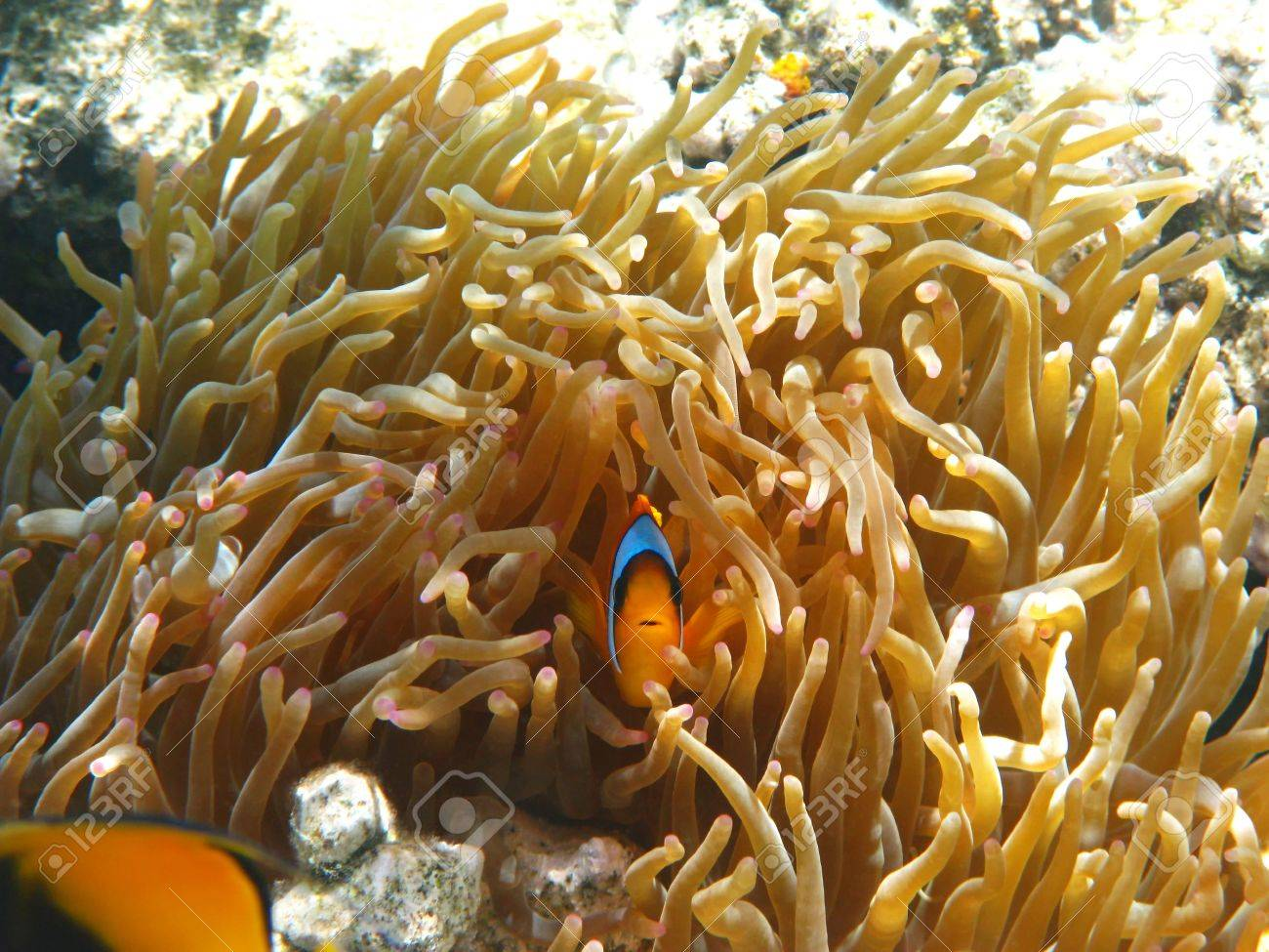Two-banded clownfish and sea anemones in Red sea Stock Photo - 5124264