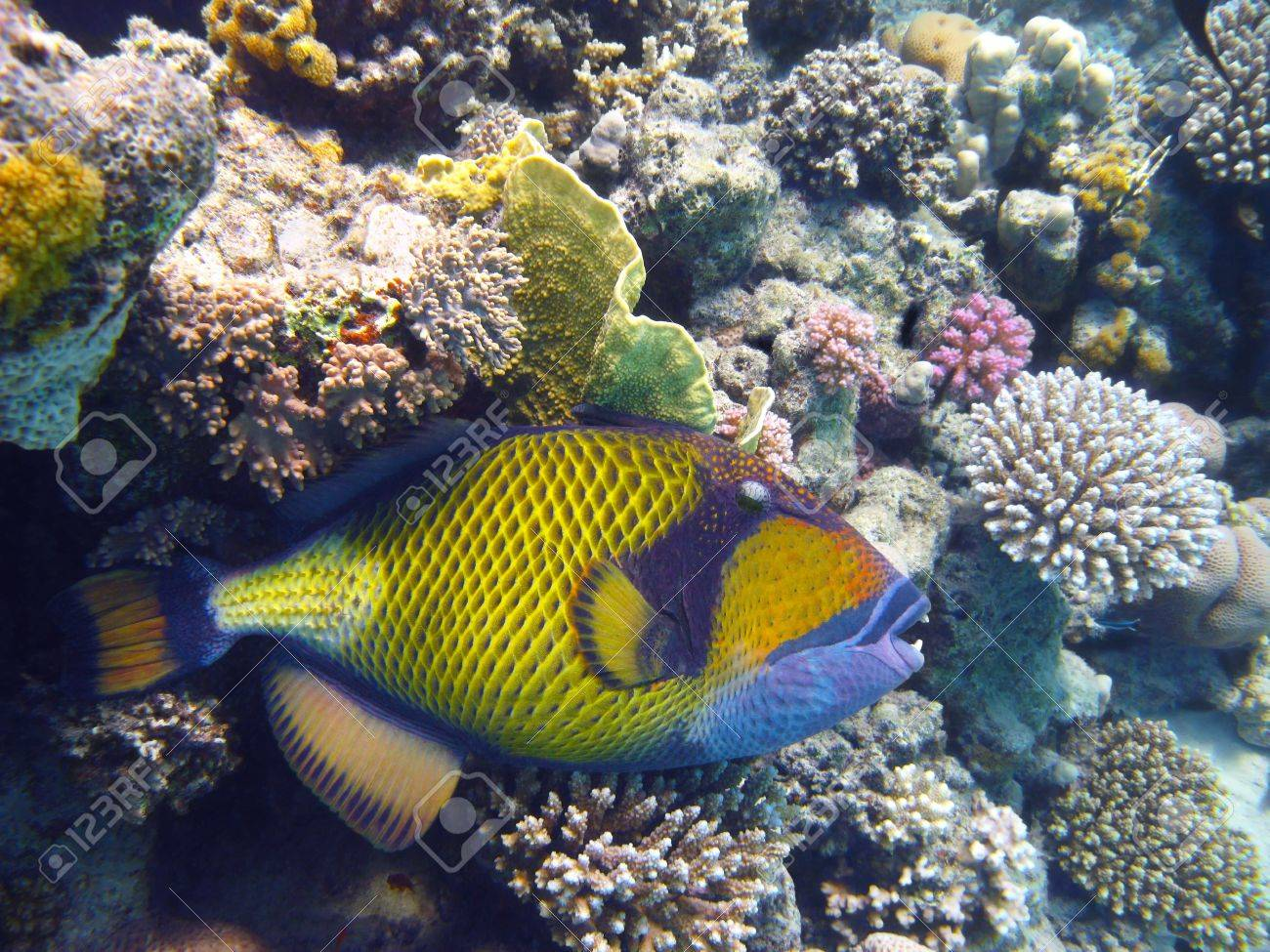 Titan triggerfish and coral reef in Red sea Stock Photo - 5788118