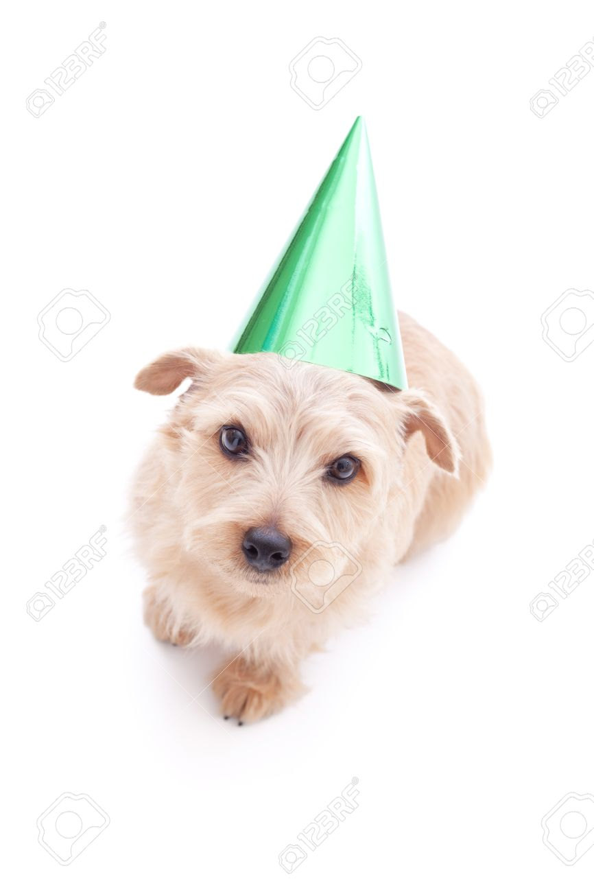 Norfolk Terrier Dog With Birthday Party Hat Isolated On White Background Stock Photo
