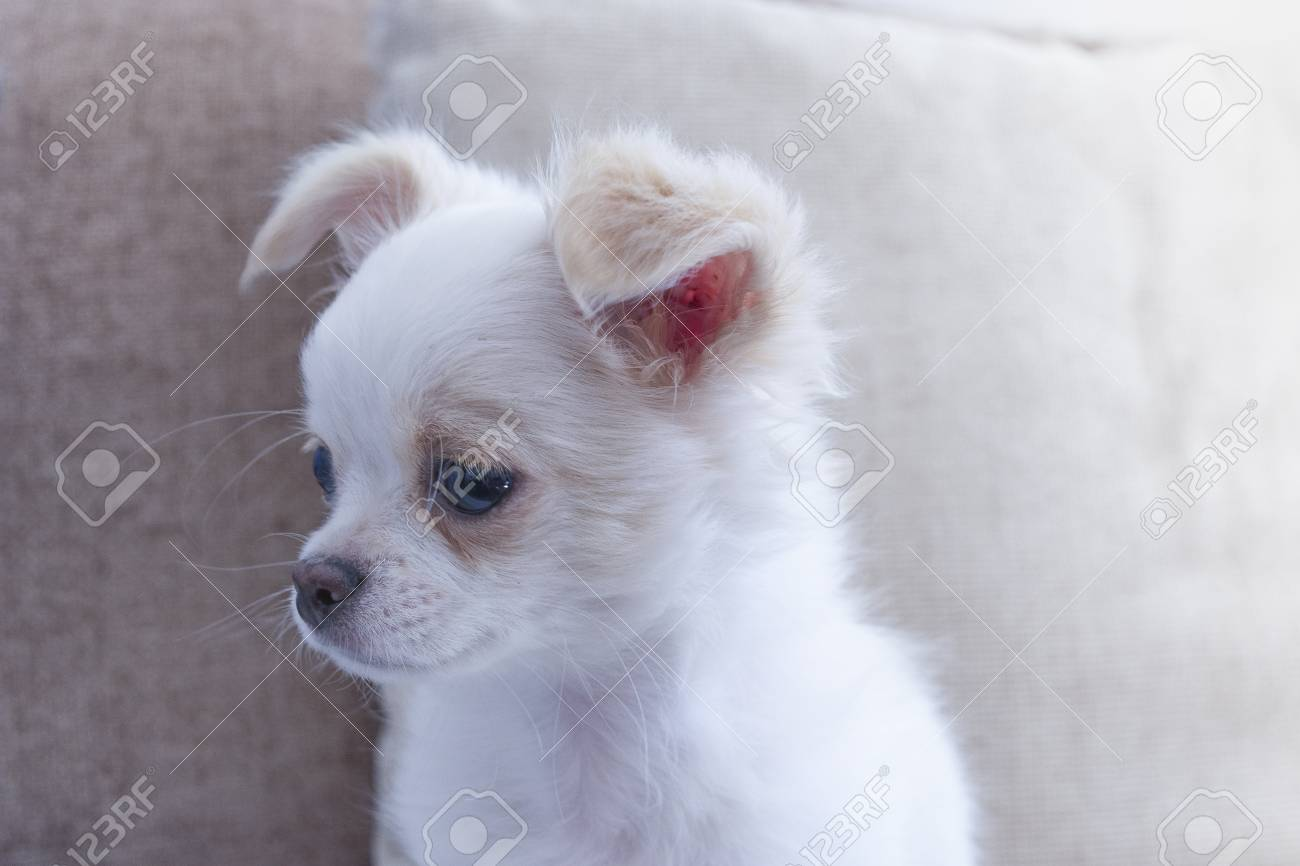 Chihuahua Chiwawa Light White Stock Photo Picture And Royalty Free Image Image 103604404