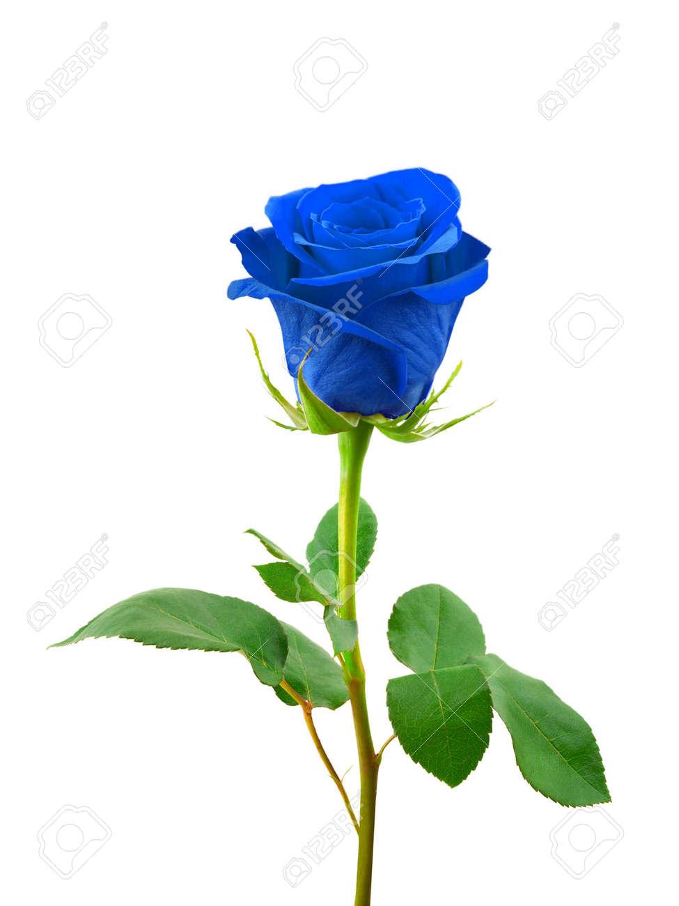Rosa Blu Su Sfondo Bianco Isolato
