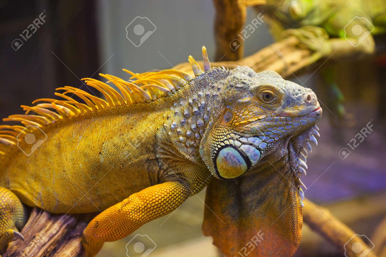 Big iguana lizard in terrarium - animal background Stock Photo - 10077834 - Big Iguana Lizard In Terrarium - Animal Background Stock Photo