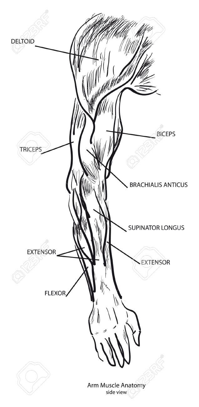 Anatomía De Músculo Del Brazo, Vista Lateral. Blanco Y Negro ...