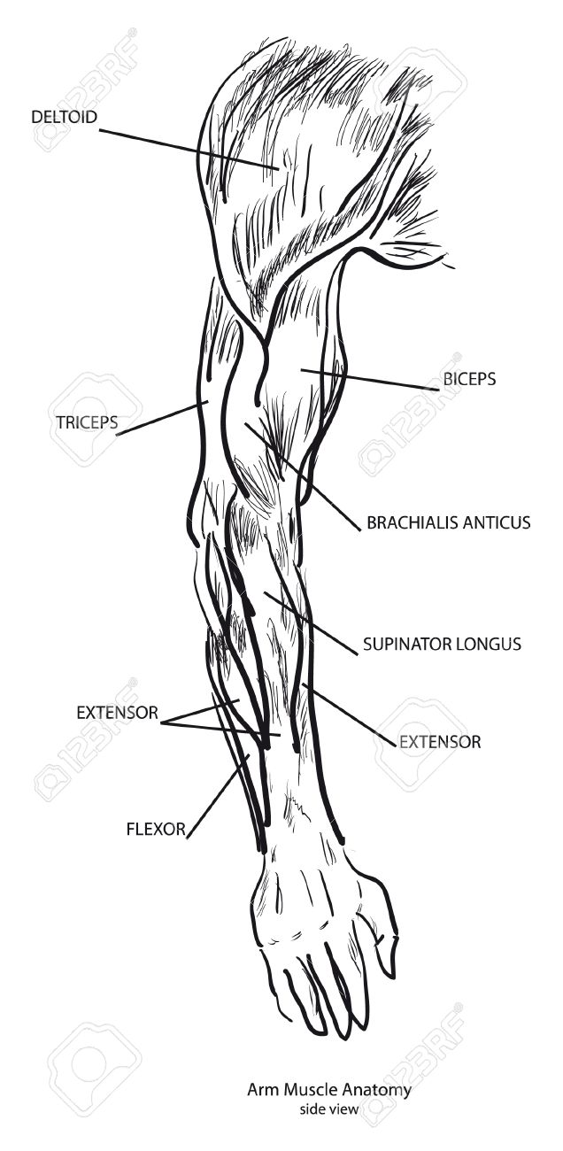 Arm Muscle Anatomy, Side View. Black And White Royalty Free Cliparts ...