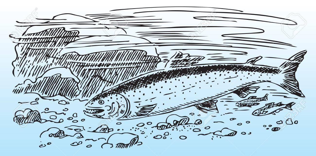 Salmon in the wild, river bottom. Stock Vector - 17143342