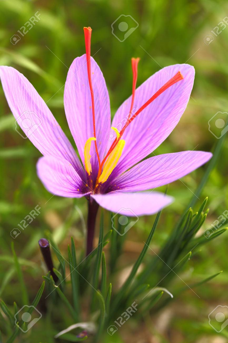 Saffron Flower On The Field Stock Photo Picture And Royalty Free