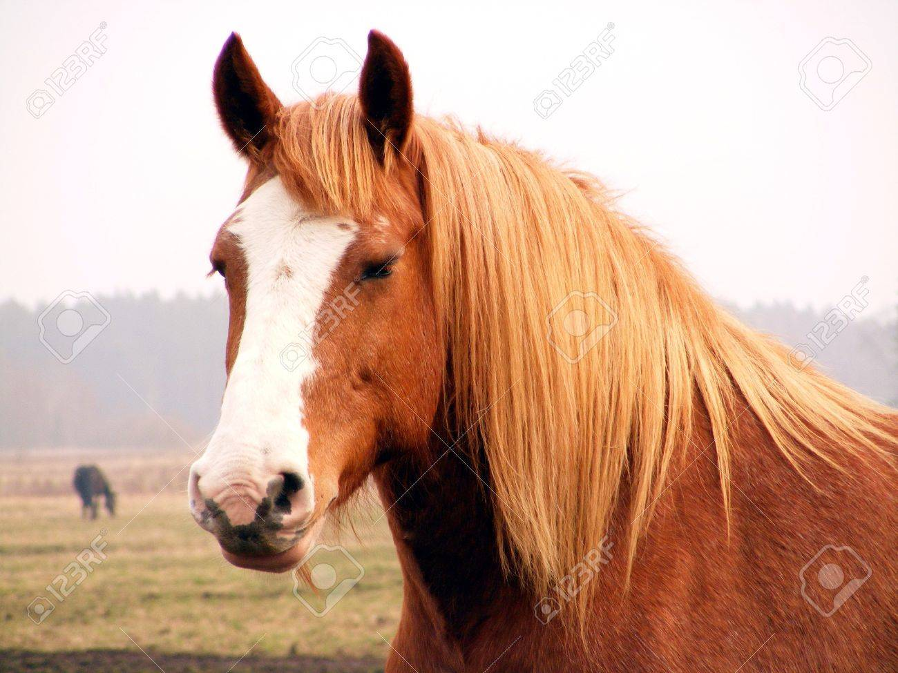 Palomino Draft Horse Portrait Stock Photo Picture And Royalty Free Image Image 14258248
