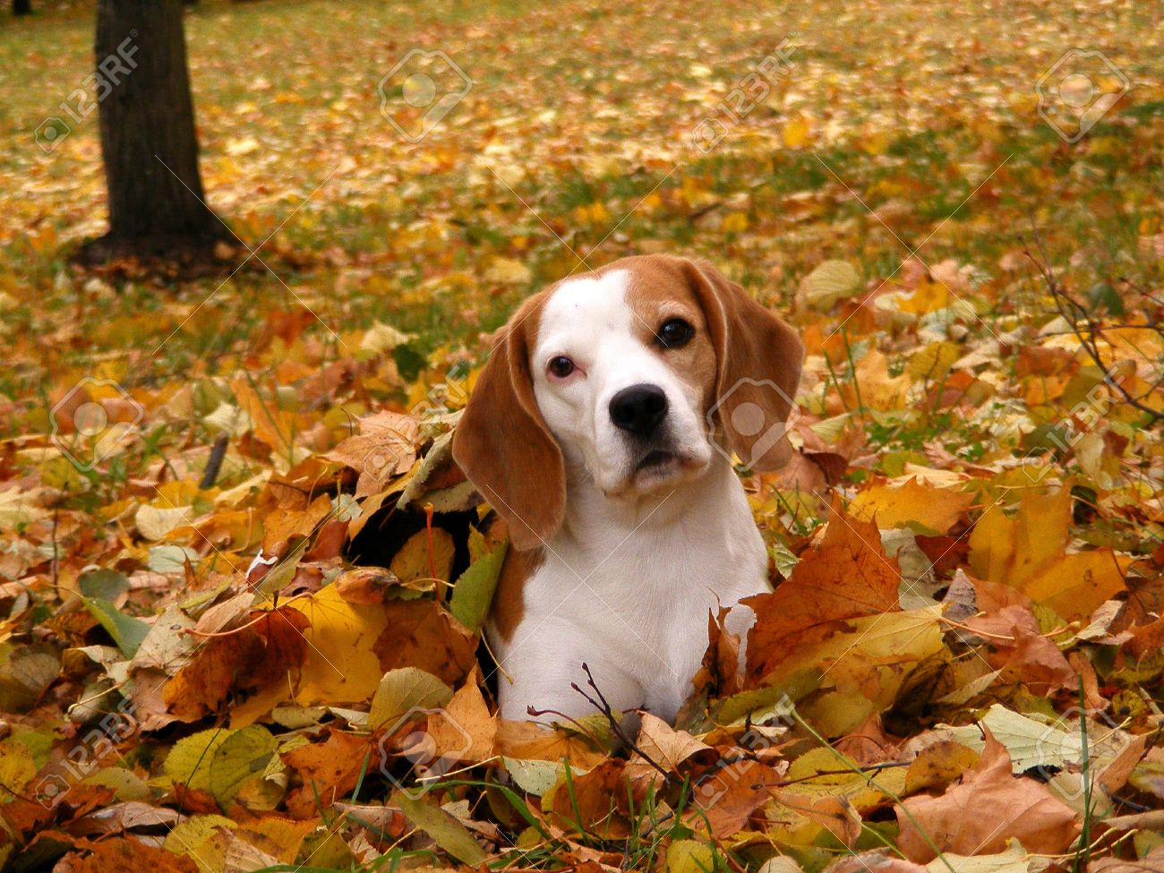 http://previews.123rf.com/images/virgonira/virgonira1207/virgonira120700278/14456920-Tricolour-beagle-lying-on-the-ground-in-autumn-Stock-Photo-dog-autumn-fall.jpg