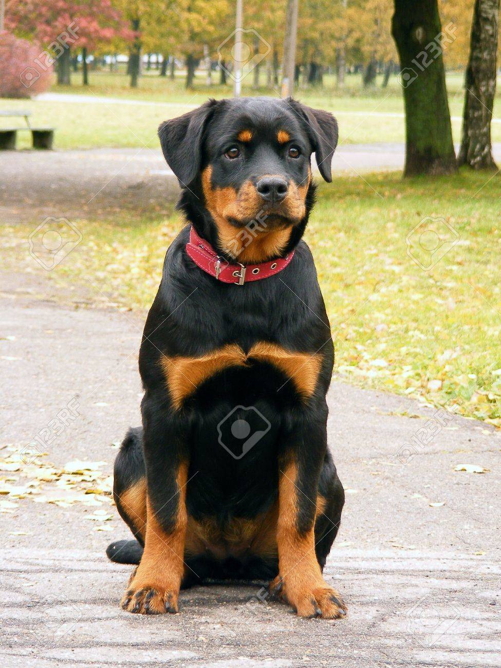 Rottweiler Pup In The Alleyway Stock Photo Picture And Royalty Free