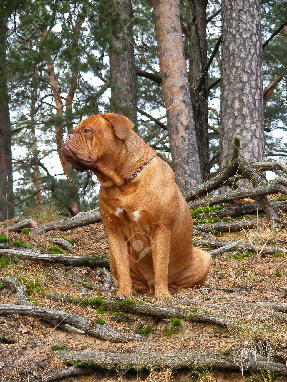 French mastiff in the forest Stock Photo - 14530383