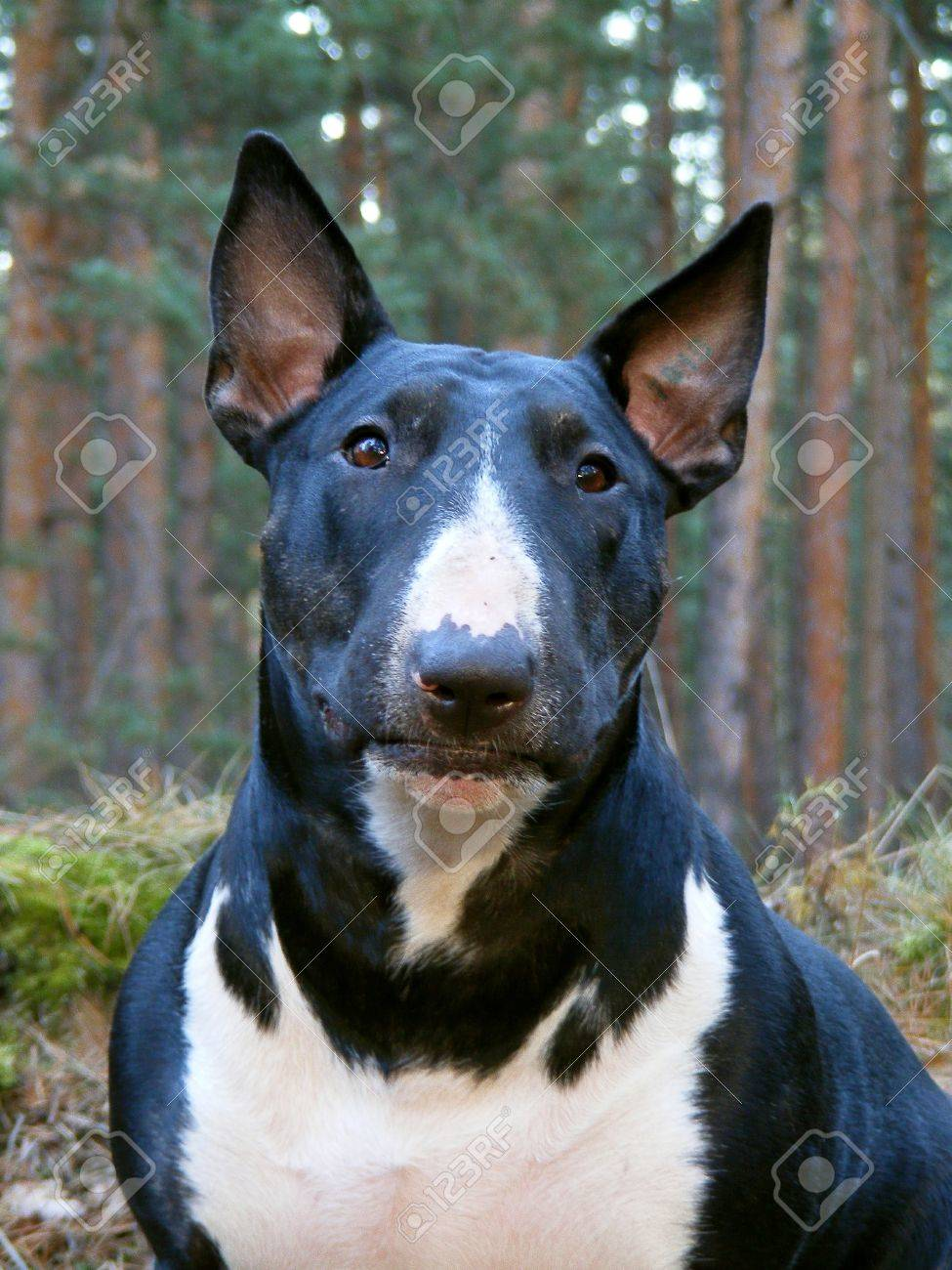 Black and white English bull terrier portrait in the forest