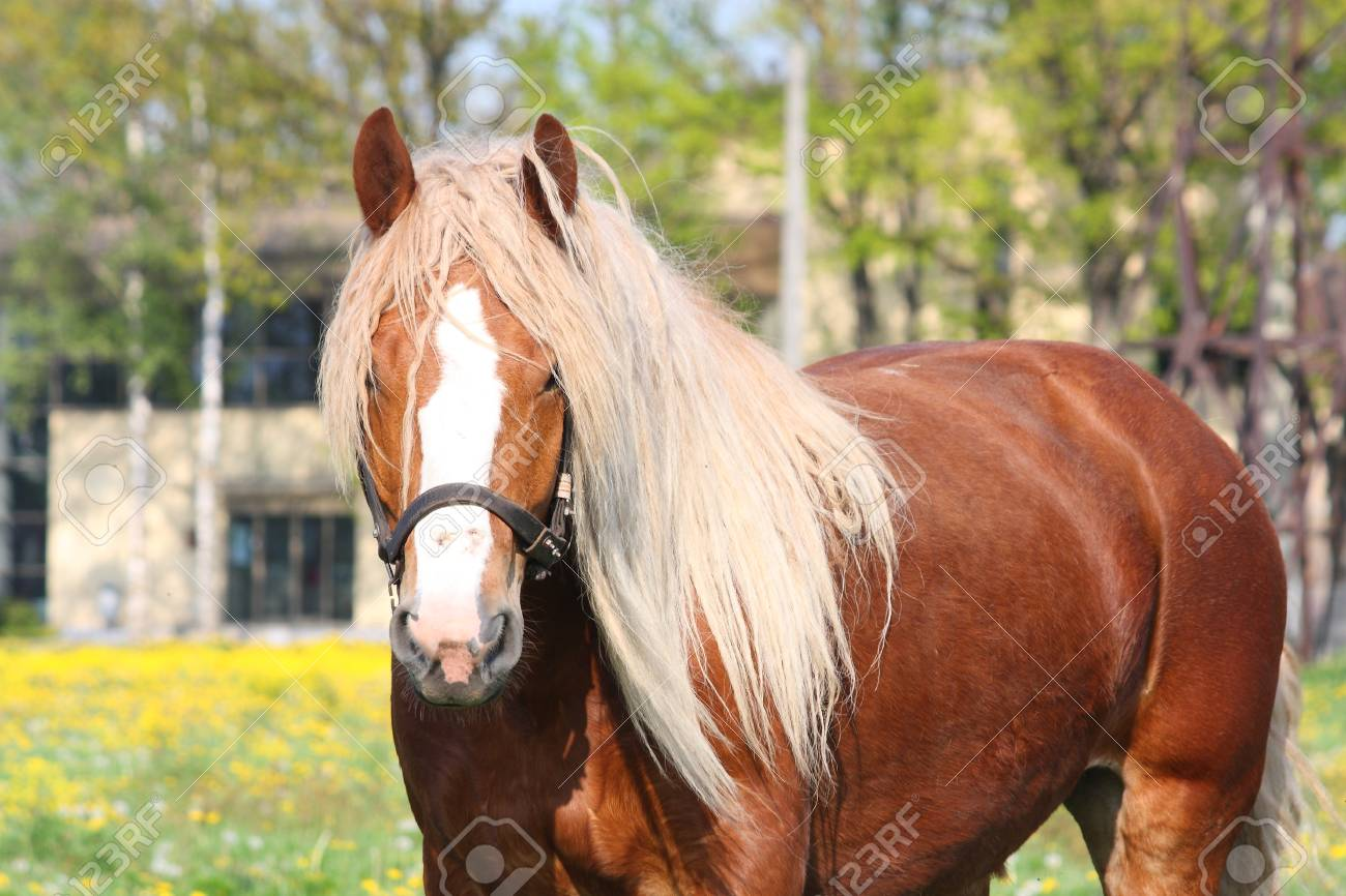 Beautiful Palomino Latvian Draught Horse Portrait At The Field Stock Photo Picture And Royalty Free Image Image 15396672