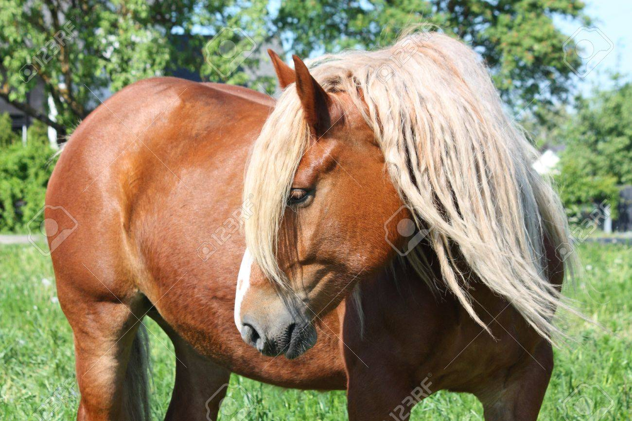 Beautiful Palomino Draught Horse With Long Mane Portrait In Summer Stock Photo Picture And Royalty Free Image Image 16520425