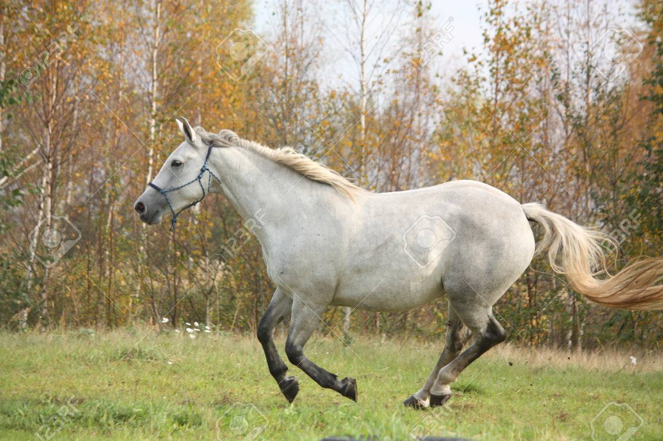White Arabian Horse Galloping Free In Autumn Stock Photo Picture And Royalty Free Image Image 26103237