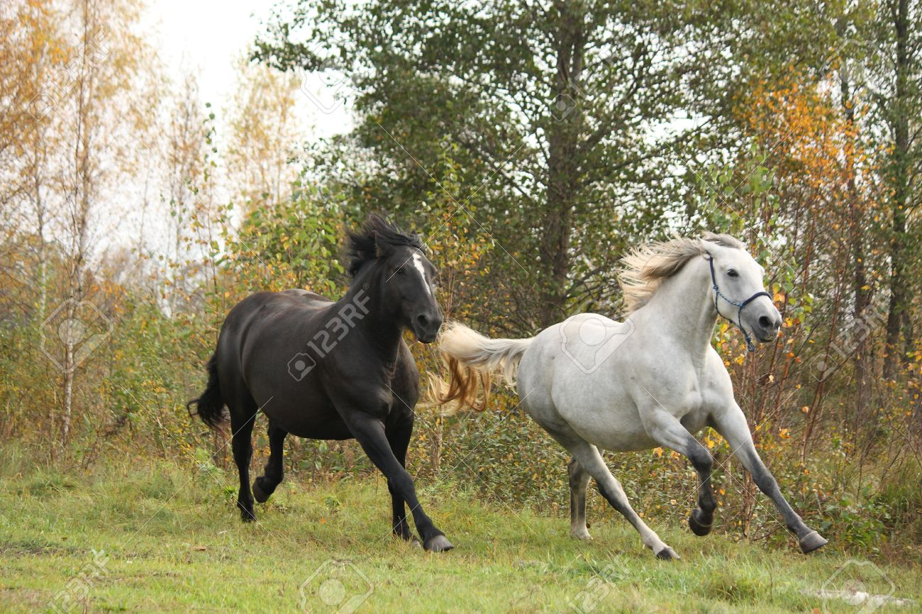 Black and white horse galloping at the field stock photo 26103260