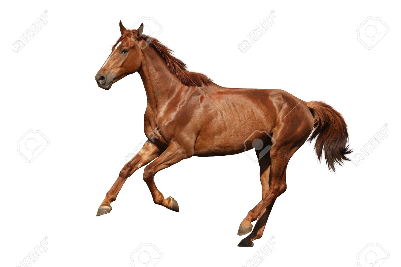 Brown Horse Cantering Free Isolated On White Background Stock Photo Picture And Royalty Free Image Image 31599849