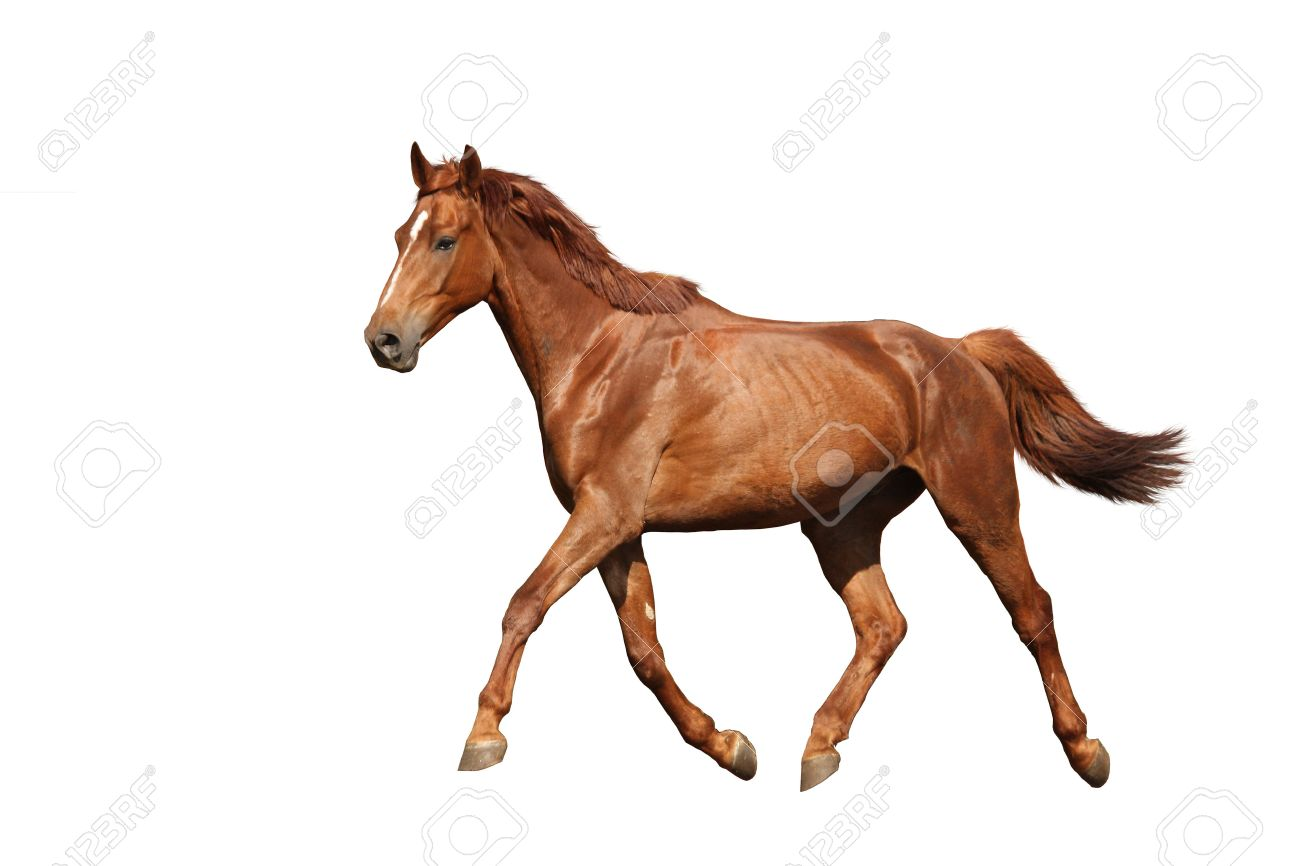 Chestnut Horse Running Free On White Background Stock Photo Picture And Royalty Free Image Image 31599852
